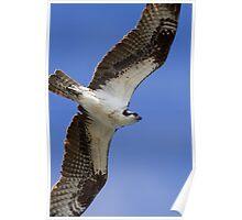 Osprey in Flight Poster