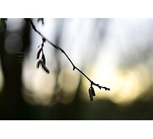 """ Catkins, Early Light "" Photographic Print"
