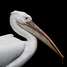 Pelican Portrait by Ellesscee