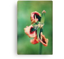 Tulip withered Canvas Print
