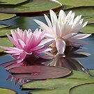 Waterlilies by Sandy1949