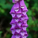 Foxglove beauty by Rainydayphotos