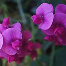 neon bright sweet peas by Rainydayphotos