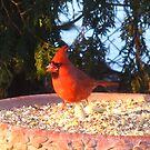 Go Cardinals Go! by MarianBendeth