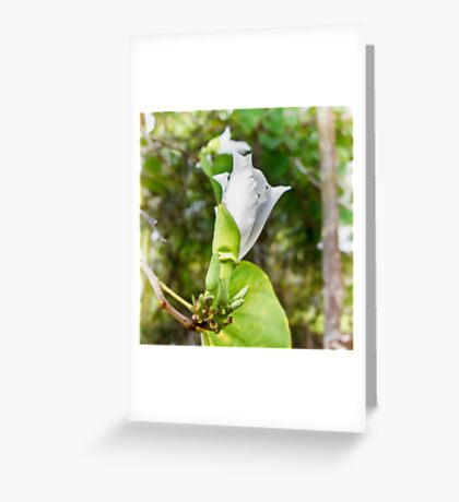 Unfolding beauty of a Butterfly tree flower Greeting Card