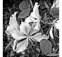 Exquisite beauty of a Butterfly tree flower Photographic Print