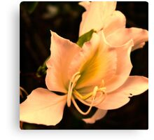 Bauhinia  with sunset glow Canvas Print