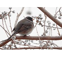 WINTER BIRD (1) Photographic Print