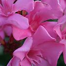 Closeup Shot of Pink Flowers on Oleander Shrub by taiche