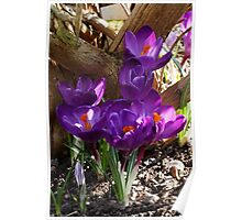 Crocuses under a Tree Poster