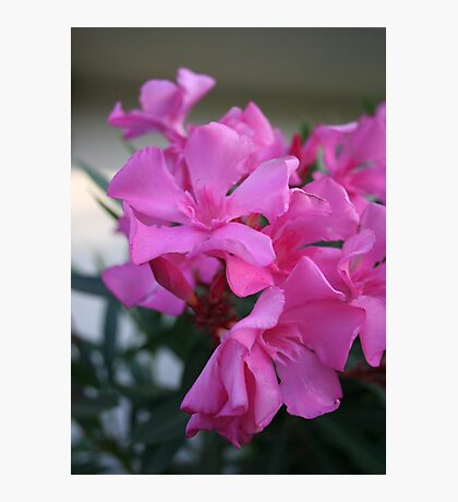 Pink Oleander Bunch Photographic Print