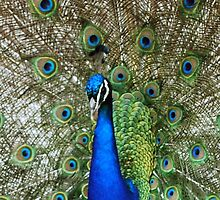 Peacock Display by Annette Brown