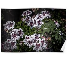 White Martha Washington Geranium flowers purple striped centres Leith Park Victoria 20151109 0671   Poster