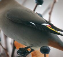 Bohemian Waxwing in a Snow Storm Sticker