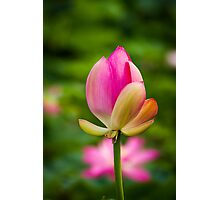 Lotus bud Photographic Print