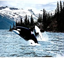 Leaping Whales Photographic Print