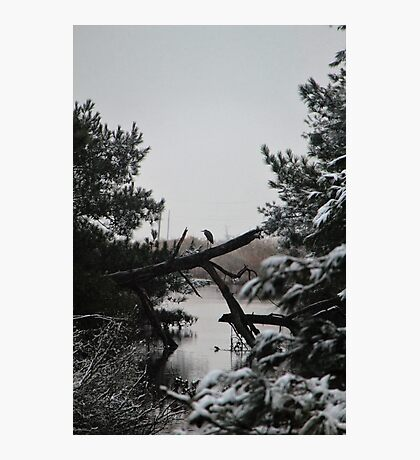 Snowy Heron Perched on Log - Assateague, MD Photographic Print