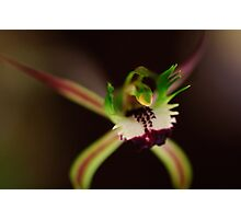 Spider Orchid Photographic Print