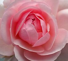 Always a rose by WalnutHill