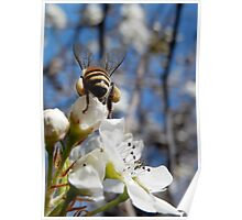 HONEY BEE ON A BLOSSOM (11) Poster