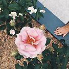Roses by ImogenMosher