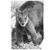 Wallaby. Poster
