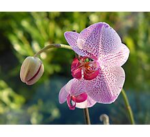 Winter orchid in the morning light Photographic Print
