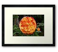 Orange and Yellow Rose Framed Print