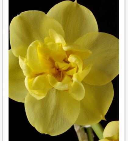 Yellow Narcissus Sticker