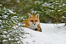 Red Fox In Snow by Michael Cummings