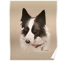 Mia the stunning Border Collie Poster