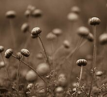 Wildflowers in sepia by Qnita