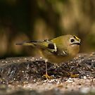 Gold crest  by yampy