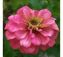 Pink Zinnia Painting Photographic Print