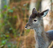 Deer portrait  by yampy