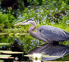 Great Blue Heron by Don Turriaga