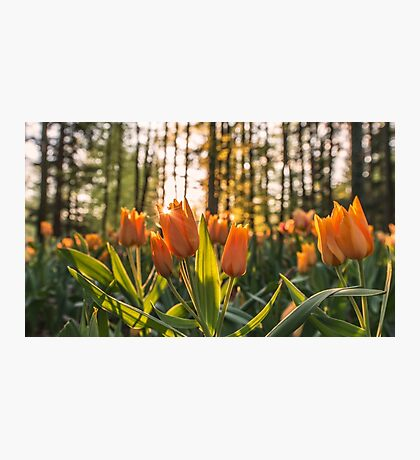 Tulips Garden Spring Fine Art Photography 0009 Photographic Print