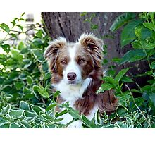 Beauty In Camouflage - Border Collie - NZ Photographic Print