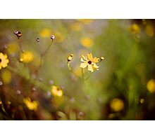 Coreopsis - Florida State Wildflower Photographic Print