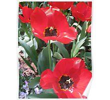 Tulip Time in Australia 16 Photograph  Poster