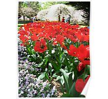Tulip Time in Australia 12 Photograph  Poster