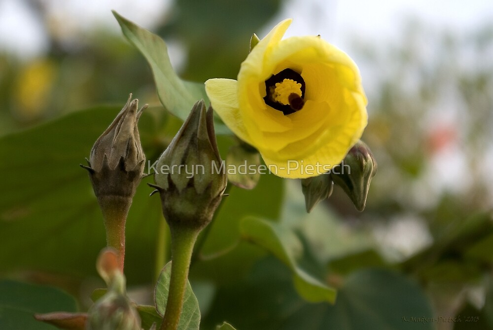 Looking Out ~ Hibiscus Tiliaceus Yellow Bloom by Kerryn Madsen-Pietsch