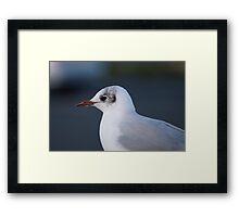 Black-headed Gull Framed Print