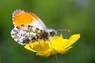 Orange Tip on Buttercup by Jo Nijenhuis