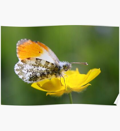 Orange Tip on Buttercup Poster