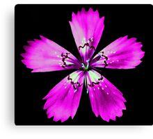 Pink Dianthus Canvas Print