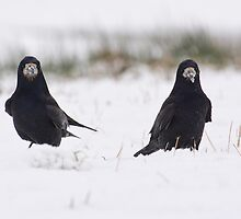 Rooks in the snow by M.S. Photography/Art