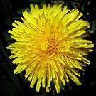 Mellow Yellow dandelion by bubblehex08