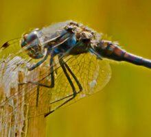 Black Darter Dragonfly Sticker