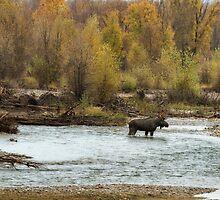 Moose in Mid-Stream by BelindaGreb